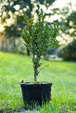 Bush in the pot. Photo of bush in the pot ready to plant in the garden royalty free stock image