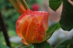 Parkinson's Beauty Rose. The  bush produces candelabras with many sturdy individual stems Stock Images