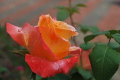 Parkinson's Beauty Rose. The  bush produces candelabras with many sturdy individual stems Stock Photos