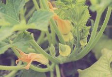 Bush pumpkin in the garden royalty free stock photo