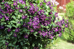 Bush of purple clematis in garden. Blooming purple clematis on a clear summer day Royalty Free Stock Photos