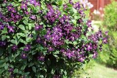 Bush of purple clematis in garden Royalty Free Stock Photos
