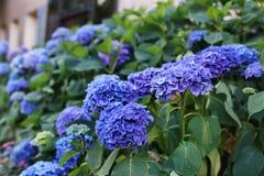 Bush of purple hydrangeas, beautiful flower. Bush of purple hydrangeas in France, floral splendor, floral splendor grown in the garden of Rennes Stock Images