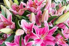 Bush of purple lily flowers (Lilium) Royalty Free Stock Photos