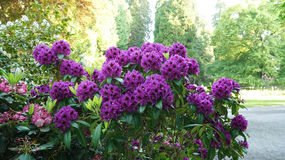 A bush with purple rhododendron flowers. Stock Photos
