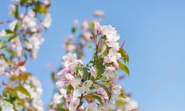 Bush różowa jabłoń i niebieskie niebo Zdjęcie Stock