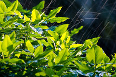 Bush in the rain Stock Image