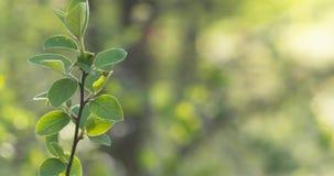 Bush ramifica com as folhas verdes na luz solar da mola Fotografia de Stock Royalty Free