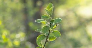 Bush ramifica com as folhas verdes na luz solar da mola Imagem de Stock Royalty Free