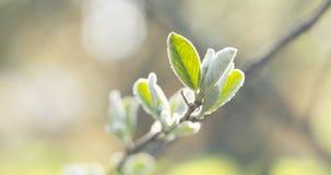 Bush ramifica com as folhas verdes na luz solar da mola Imagens de Stock