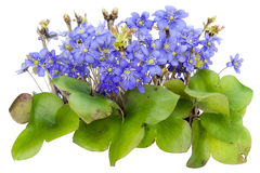Bush of real first springs flowers isolated Royalty Free Stock Image
