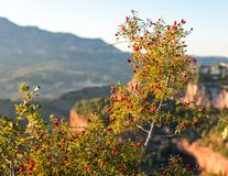 Bush with red berries on a background of a landscape in Siurana de Prades, Tarragona, Spain. Close-up. Bush with red berries on a background of a landscape in stock photo