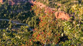 Bush with red berries on a background of a landscape in Siurana de Prades, Tarragona, Spain. Close-up. Bush with red berries on a background of a landscape in stock images