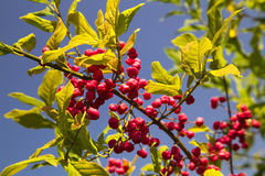 Bush with red berries Royalty Free Stock Photo