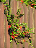 Bush with red berries Stock Photos