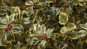 A bush with red berries in the rain. Leaves are green with a bright yellow border stock video footage