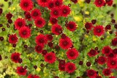 Bush of red chrysanthemums blooms in the garden, bright autumn flowers like chamomile royalty free stock photos