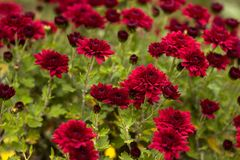 Bush of red chrysanthemums blooms in the garden, bright autumn flowers like chamomile royalty free stock photography