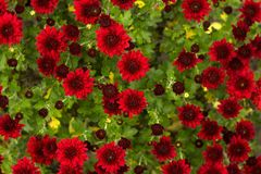 Bush of red chrysanthemums blooms in the garden, bright autumn flowers like chamomile stock image