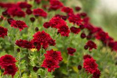 Bush of red chrysanthemums blooms in the garden, bright autumn flowers like chamomile stock photography