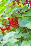 Bush of a red currant. Red ripe currant on a background of green leaves Stock Images