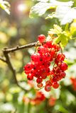 Bush of red currant berries.  royalty free stock photo