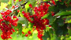 Bush of red currant berries stock video footage