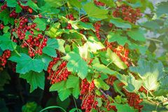 Bush of red currant berries stock photography