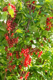 Bush red currant Royalty Free Stock Photography