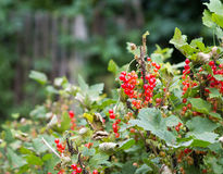 Bush of red currant Royalty Free Stock Photos