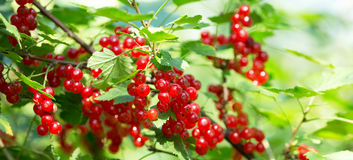Bush of red currant Royalty Free Stock Image
