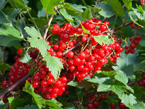 Bush of a red currant.grows in a garden Stock Images