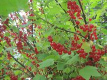 Bush of red currant, has matured and can collect. Red currant, wild berry for prigotovleniya jam and drinking tea stock image