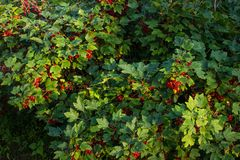 Red currant in the garden. Bush red currant. Bush red currant. Red currant in the garden. Country house. Berries stock photo