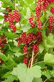 Bush of red currant Royalty Free Stock Images