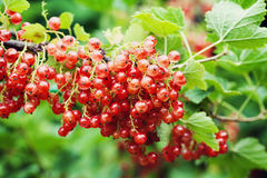 Bush of red currant with ripe berries and green leaves in the garden Royalty Free Stock Image