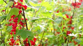 Bush of red currant on sunny day stock footage