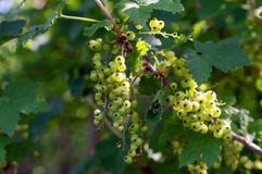 Bush of red currant with unripe berries and green leaves royalty free stock photos