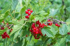 The bush of red currants royalty free stock photo