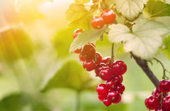Bush of  red currants. Bush of ripe red currants and sun Royalty Free Stock Photo
