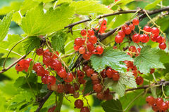Bush with red currants. Russian 6 13 16 stock photography
