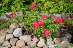 Bush red dwarf rose on the pile of stones in the village of Vyritsa Sunny summer day Stock Photo
