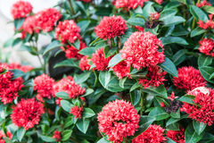 The bush of red flower name Ixora chinensis Lamk Stock Images