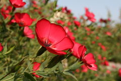 Bush of red flowers Stock Photo