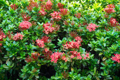 Bush with red flowers. Green bushes with flowers rozovvymi Royalty Free Stock Photography