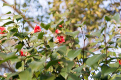 Bush with red flowers Royalty Free Stock Image
