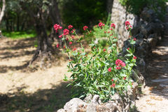 Bush of red flowers on a stone fence Stock Image