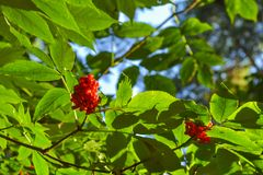A bush with red forest berries on a branch with green leaves.  Stock Image