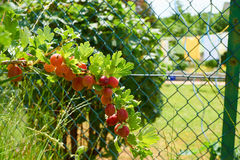 Bush with red gooseberries fruits. Bush with red ripe gooseberries on in the Home Garden Royalty Free Stock Images