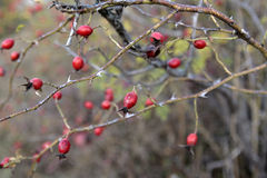 Bush with red hips in autumn  day Royalty Free Stock Photo